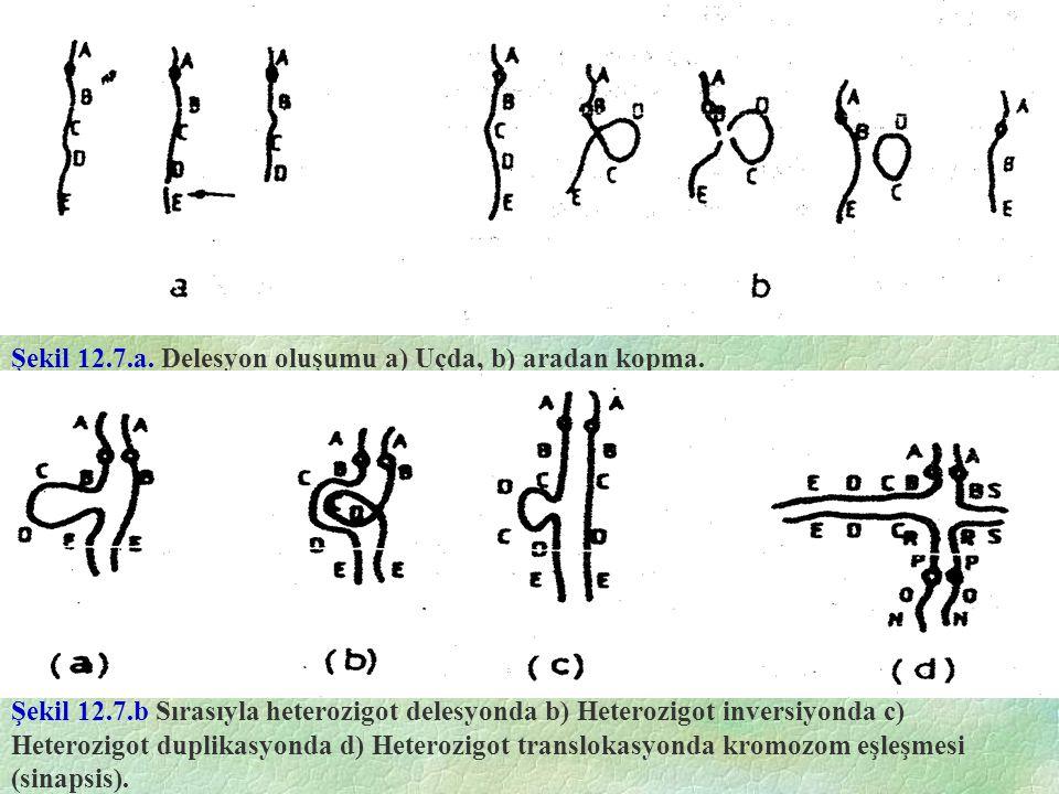 Şekil 12.7.a. Delesyon oluşumu a) Uçda, b) aradan kopma. Şekil 12.7.b Sırasıyla heterozigot delesyonda b) Heterozigot inversiyonda c) Heterozigot dupl