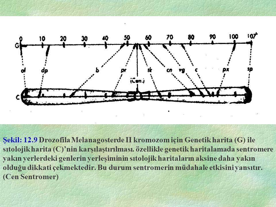 Şekil: 12.9 Drozofila Melanagosterde II kromozom için Genetik harita (G) ile sıtolojik harita (C)'nin karşılaştırılması. özellikle genetik haritalamad