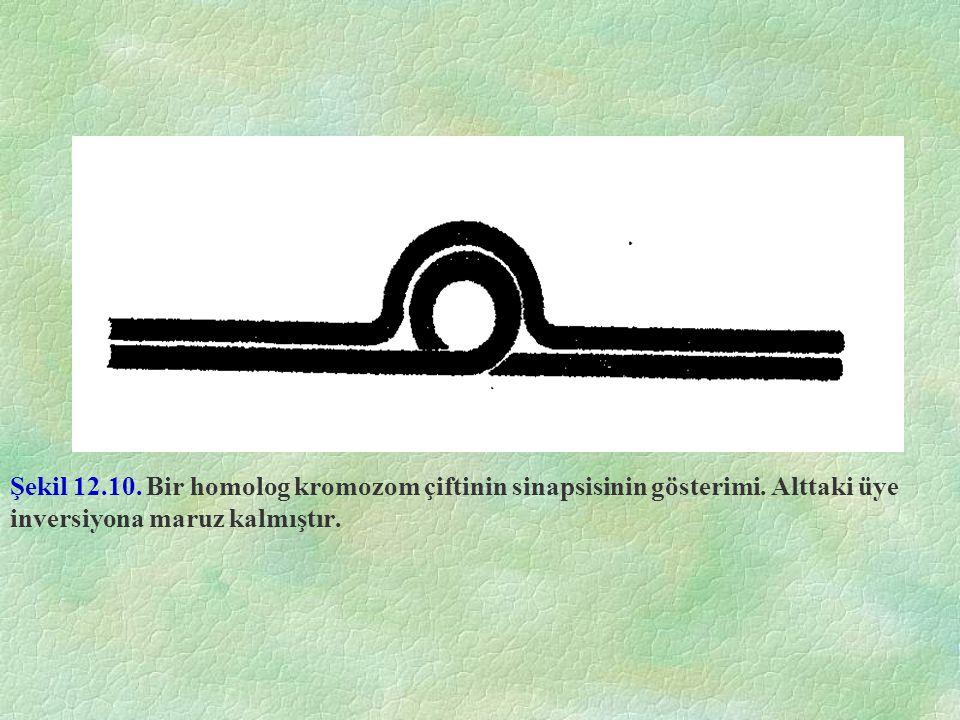 Şekil 12.10. Bir homolog kromozom çiftinin sinapsisinin gösterimi. Alttaki üye inversiyona maruz kalmıştır.