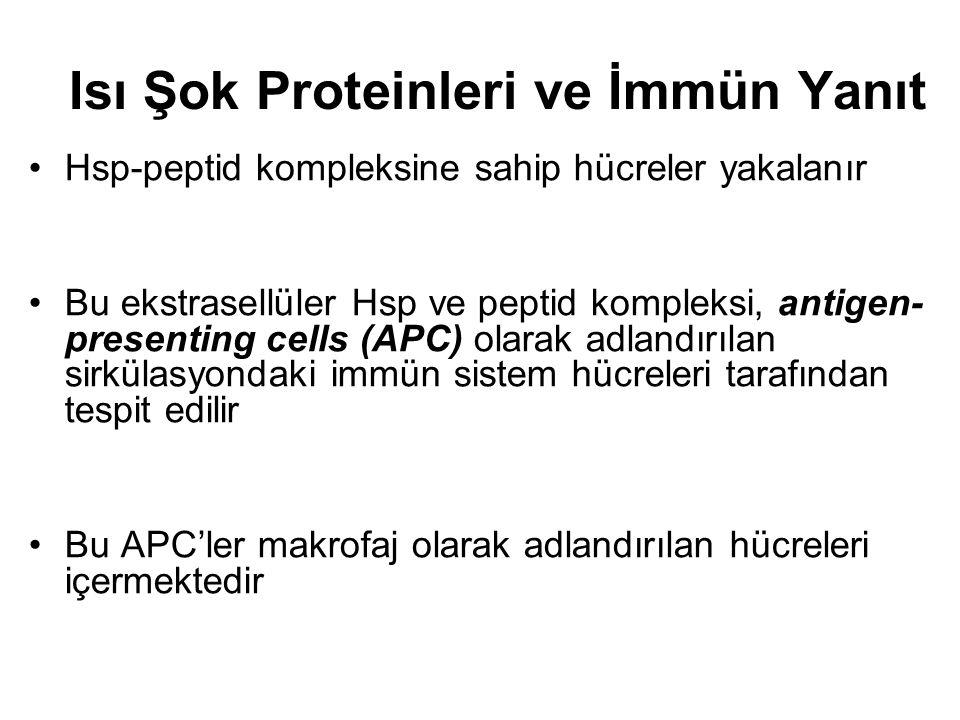 Isı Şok Proteinleri ve İmmün Yanıt Hsp-peptid kompleksine sahip hücreler yakalanır Bu ekstrasellüler Hsp ve peptid kompleksi, antigen- presenting cell