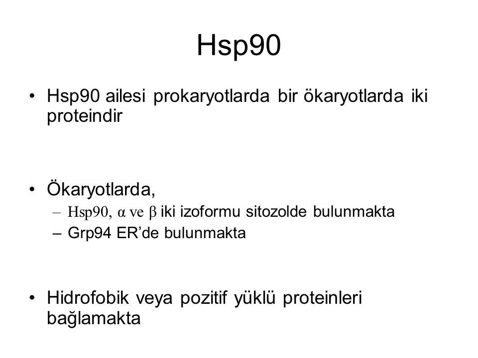 Hsp90 Hsp90 ailesi prokaryotlarda bir ökaryotlarda iki proteindir Ökaryotlarda, –Hsp90, α ve β iki izoformu sitozolde bulunmakta –Grp94 ER'de bulunmak