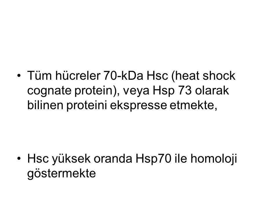 Tüm hücreler 70-kDa Hsc (heat shock cognate protein), veya Hsp 73 olarak bilinen proteini ekspresse etmekte, Hsc yüksek oranda Hsp70 ile homoloji göst