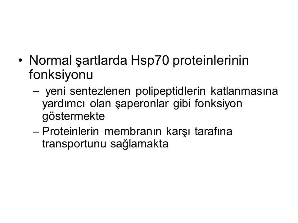 Normal şartlarda Hsp70 proteinlerinin fonksiyonu – yeni sentezlenen polipeptidlerin katlanmasına yardımcı olan şaperonlar gibi fonksiyon göstermekte –