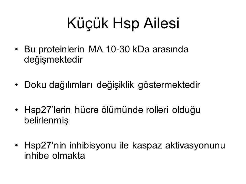 Küçük Hsp Ailesi Bu proteinlerin MA 10-30 kDa arasında değişmektedir Doku dağılımları değişiklik göstermektedir Hsp27'lerin hücre ölümünde rolleri old