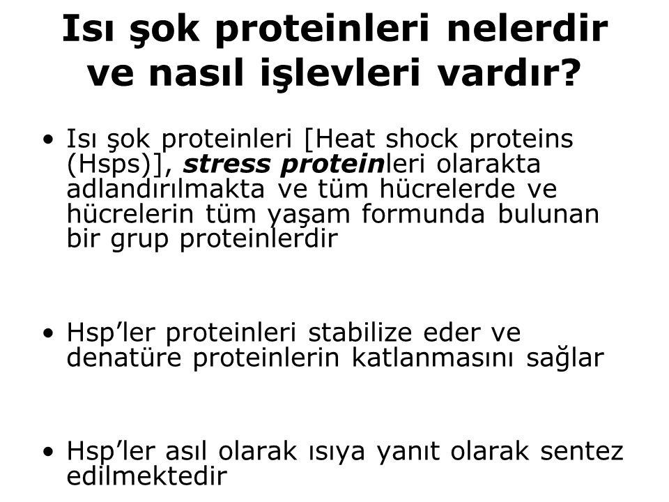 Isı şok proteinleri nelerdir ve nasıl işlevleri vardır? Isı şok proteinleri [Heat shock proteins (Hsps)], stress proteinleri olarakta adlandırılmakta