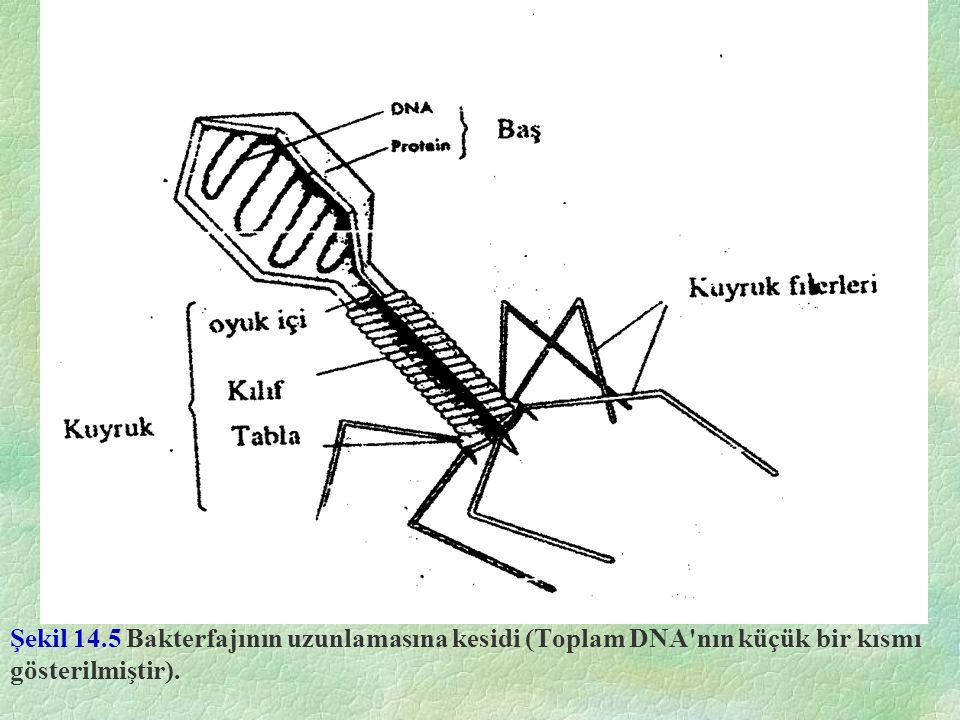 Şekil 14.5 Bakterfajının uzunlamasına kesidi (Toplam DNA'nın küçük bir kısmı gösterilmiştir).