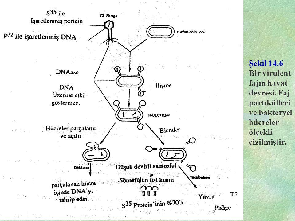 Şekil 14.6 Bir virulent fajın hayat devresi. Faj partıkülleri ve bakteryel hücreler ölçekli çizilmiştir.