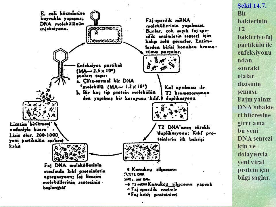 Şekil 14.7. Bir bakterinin T2 bakteriyofaj partikülü ile enfeksiyonu ndan sonraki olalar dizisinin şeması. Fajın yalnız DNA'sıbakte ri hücresine girer