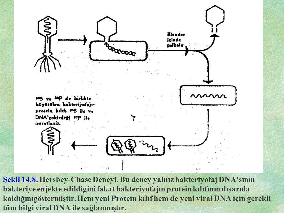 Şekil 14.8. Hersbey-Chase Deneyi. Bu deney yalnız bakteriyofaj DNA'sının bakteriye enjekte edildiğini fakat bakteriyofajın protein kılıfının dışarıda