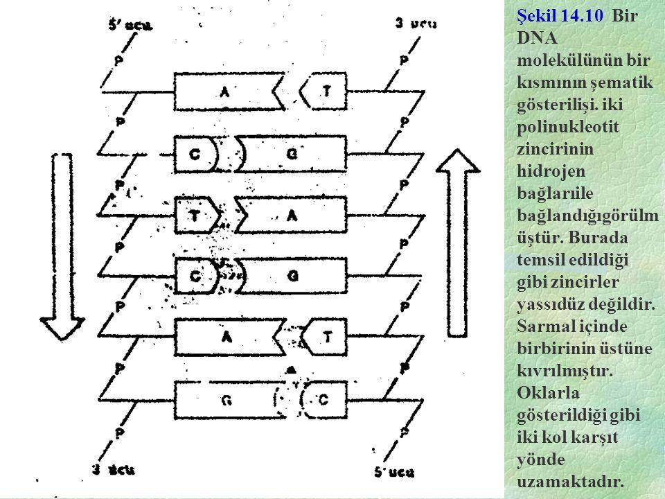 Şekil 14.10 Bir DNA molekülünün bir kısmının şematik gösterilişi. iki polinukleotit zincirinin hidrojen bağlarıile bağlandığıgörülm üştür. Burada tems