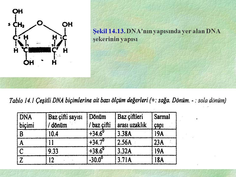 Şekil 14.13. DNA'nın yapısında yer alan DNA şekerinin yapısı