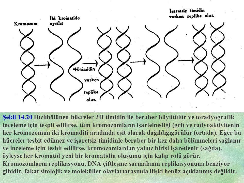 Şekil 14.20 Hızlıbölünen hücreler 3H timidin ile beraber büyütülür ve toradyografik inceleme için tespit edilirse, tüm kromozomların işartelnediği (gr