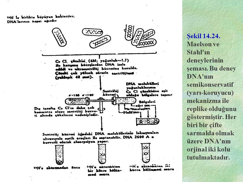 Şekil 14.24. Maelson ve Stahl'ın deneylerinin şeması. Bu deney DNA'nın semikonservatif (yarı-koruyucu) mekanizma ile replike olduğunu göstermiştir. He