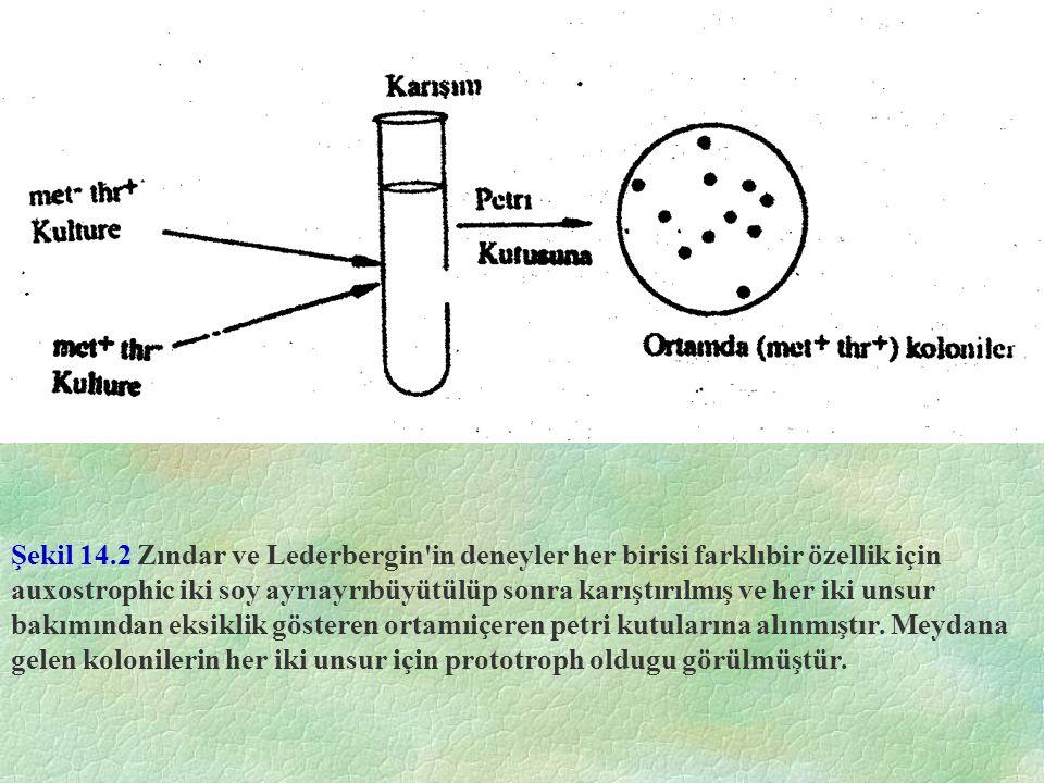 Şekil 14.20 Hızlıbölünen hücreler 3H timidin ile beraber büyütülür ve toradyografik inceleme için tespit edilirse, tüm kromozomların işartelnediği (gri) ve radyoaktivitenin her kromozomun iki kromaditi aradında eşit olarak dağıldığıgörülür (ortada).