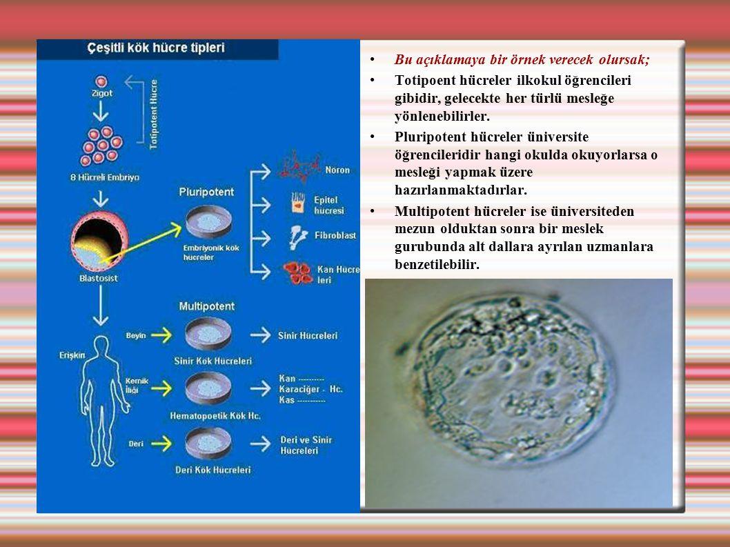 Bu açıklamaya bir örnek verecek olursak; Totipoent hücreler ilkokul öğrencileri gibidir, gelecekte her türlü mesleğe yönlenebilirler. Pluripotent hücr