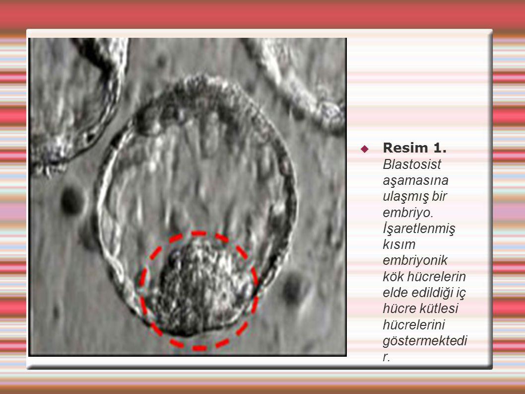  Resim 1. Blastosist aşamasına ulaşmış bir embriyo. İşaretlenmiş kısım embriyonik kök hücrelerin elde edildiği iç hücre kütlesi hücrelerini göstermek