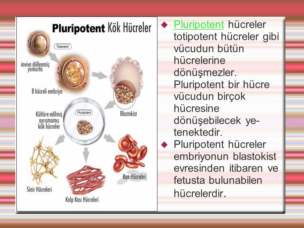  Pluripotent hücreler totipotent hücreler gibi vücudun bütün hücrelerine dönüşmezler. Pluripotent bir hücre vücudun birçok hücresine dönüşebilecek ye