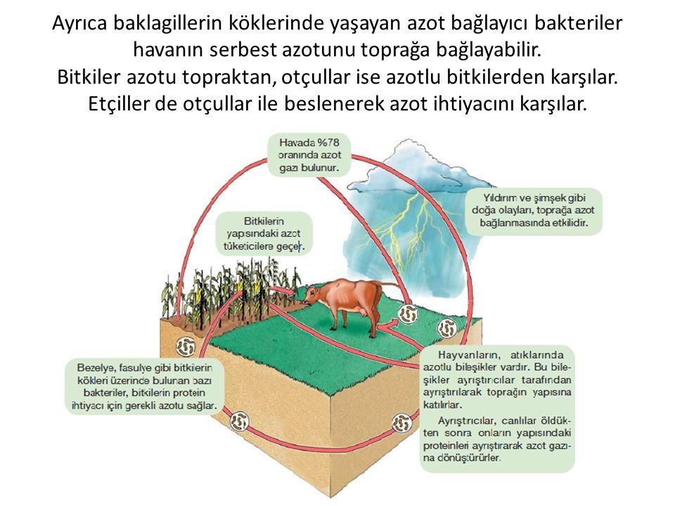 Ayrıca baklagillerin köklerinde yaşayan azot bağlayıcı bakteriler havanın serbest azotunu toprağa bağlayabilir. Bitkiler azotu topraktan, otçullar ise