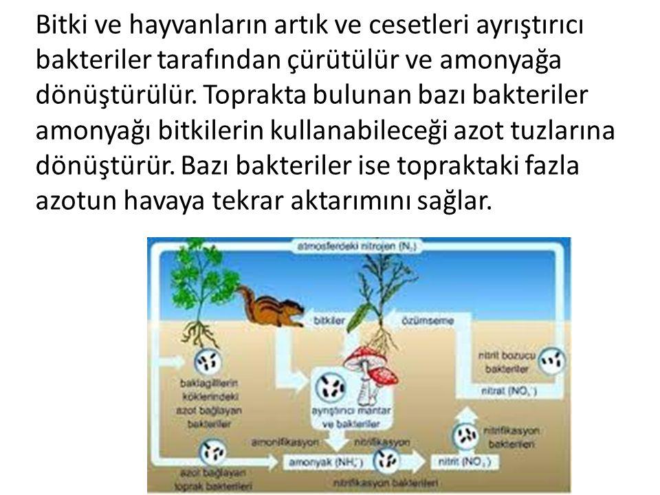 Bitki ve hayvanların artık ve cesetleri ayrıştırıcı bakteriler tarafından çürütülür ve amonyağa dönüştürülür. Toprakta bulunan bazı bakteriler amonyağ