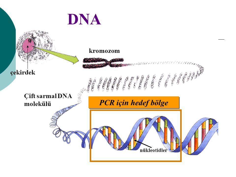 DNA PCR için hedef bölge kromozom çekirdek Çift sarmal DNA molekülü nükleotidler