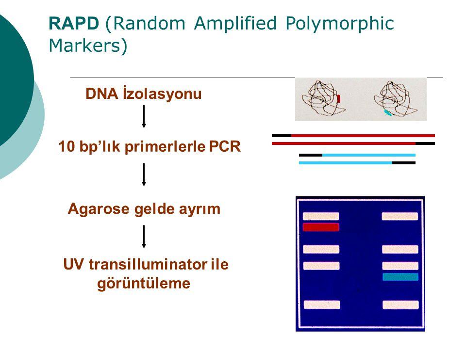 RAPD (Random Amplified Polymorphic Markers) 10 bp'lık primerlerle PCR DNA İzolasyonu Agarose gelde ayrım UV transilluminator ile görüntüleme