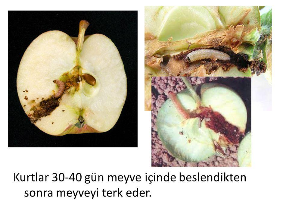 Kurtlar 30-40 gün meyve içinde beslendikten sonra meyveyi terk eder.