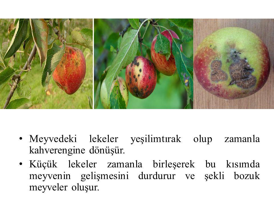 Meyvedeki lekeler yeşilimtırak olup zamanla kahverengine dönüşür. Küçük lekeler zamanla birleşerek bu kısımda meyvenin gelişmesini durdurur ve şekli b