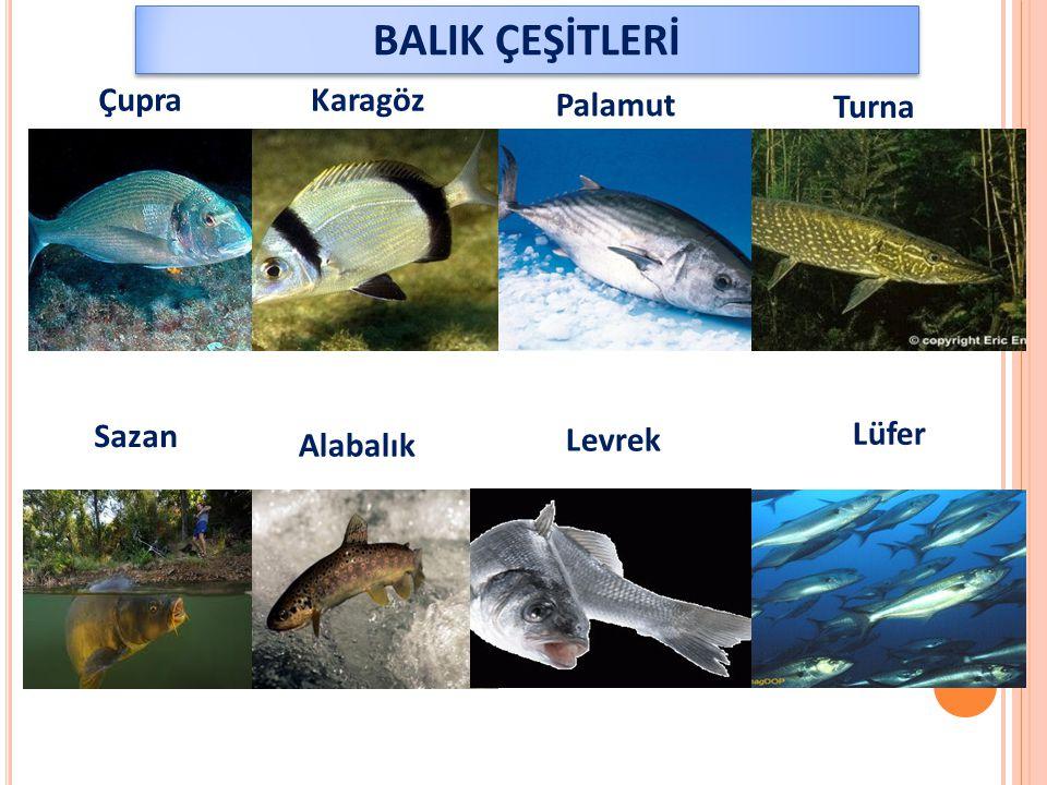 ÇupraKaragöz Palamut Turna Sazan Alabalık Levrek Lüfer BALIK ÇEŞİTLERİ