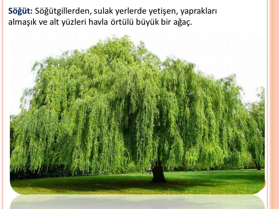 Söğüt: Söğütgillerden, sulak yerlerde yetişen, yaprakları almaşık ve alt yüzleri havla örtülü büyük bir ağaç.