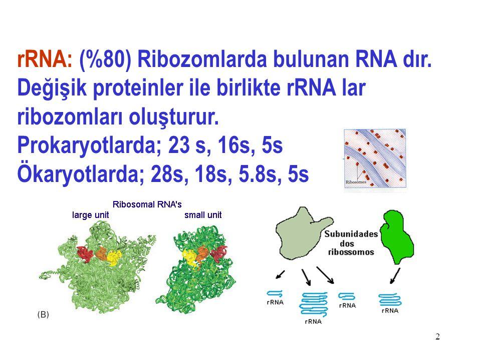 12 rRNA: (%80) Ribozomlarda bulunan RNA dır.