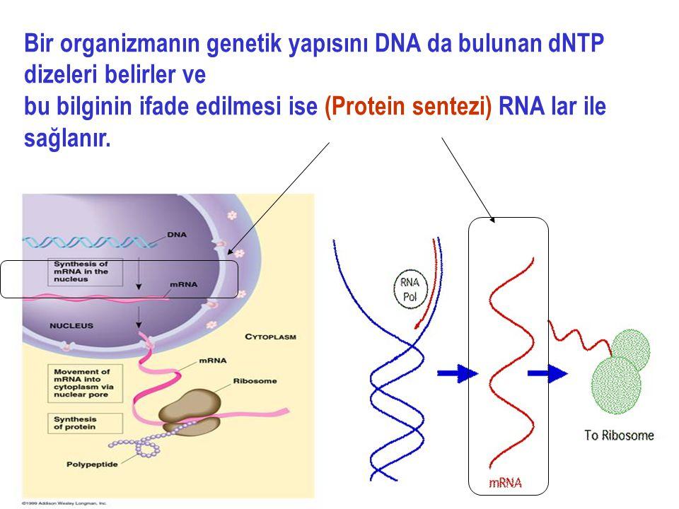 2 Bir organizmanın genetik yapısını DNA da bulunan dNTP dizeleri belirler ve bu bilginin ifade edilmesi ise (Protein sentezi) RNA lar ile sağlanır.