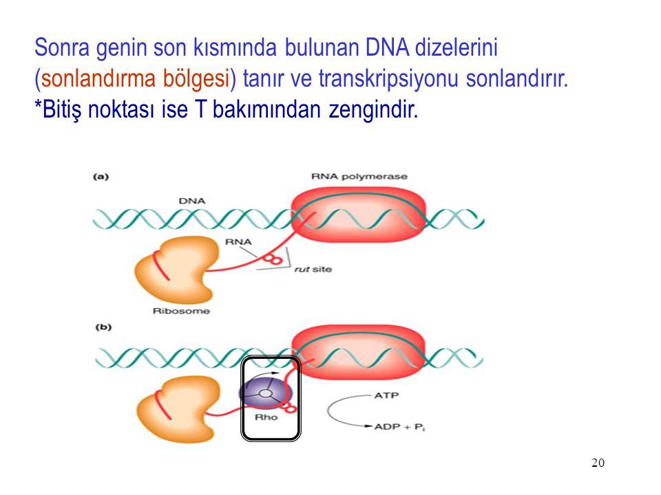 20 Sonra genin son kısmında bulunan DNA dizelerini (sonlandırma bölgesi) tanır ve transkripsiyonu sonlandırır.