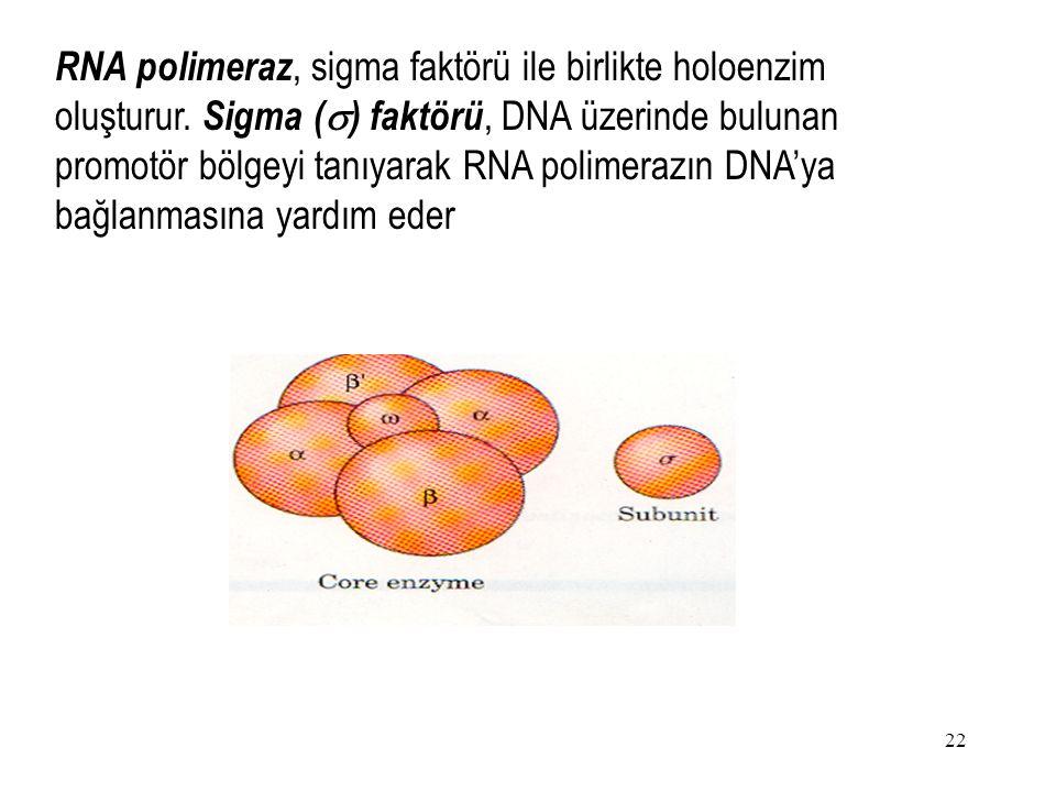 22 RNA polimeraz, sigma faktörü ile birlikte holoenzim oluşturur.