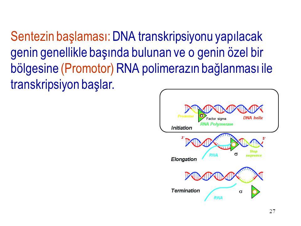 27 Sentezin başlaması: DNA transkripsiyonu yapılacak genin genellikle başında bulunan ve o genin özel bir bölgesine (Promotor) RNA polimerazın bağlanması ile transkripsiyon başlar.