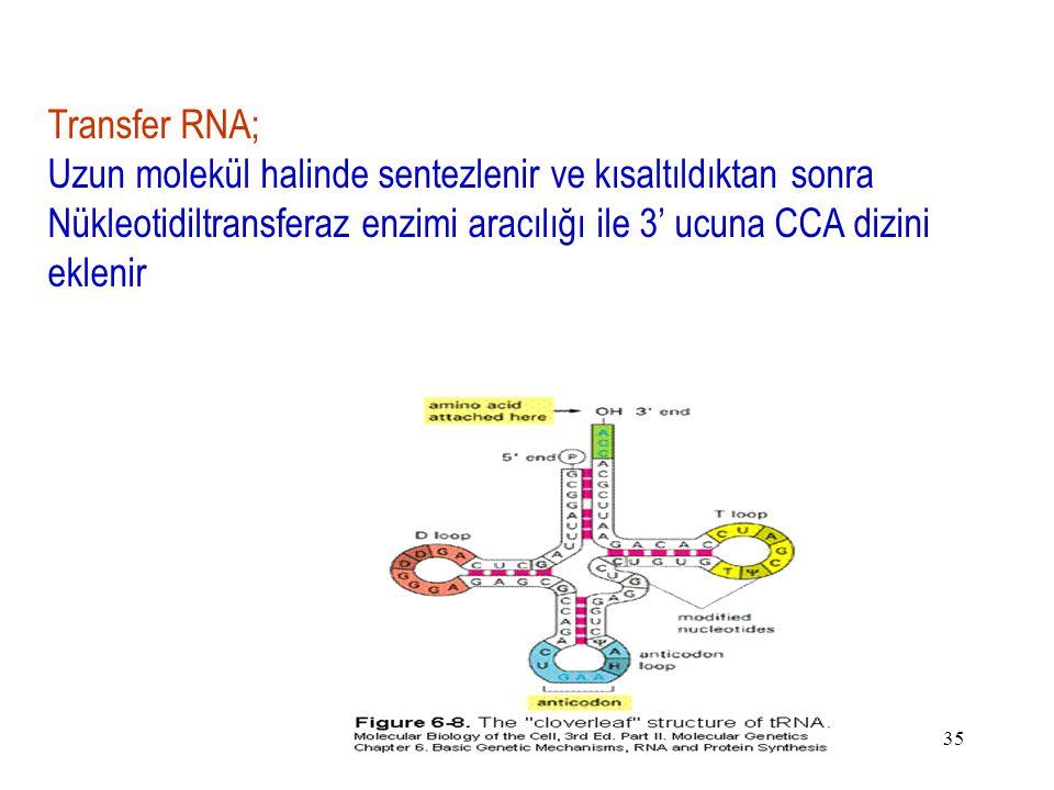35 Transfer RNA; Uzun molekül halinde sentezlenir ve kısaltıldıktan sonra Nükleotidiltransferaz enzimi aracılığı ile 3' ucuna CCA dizini eklenir