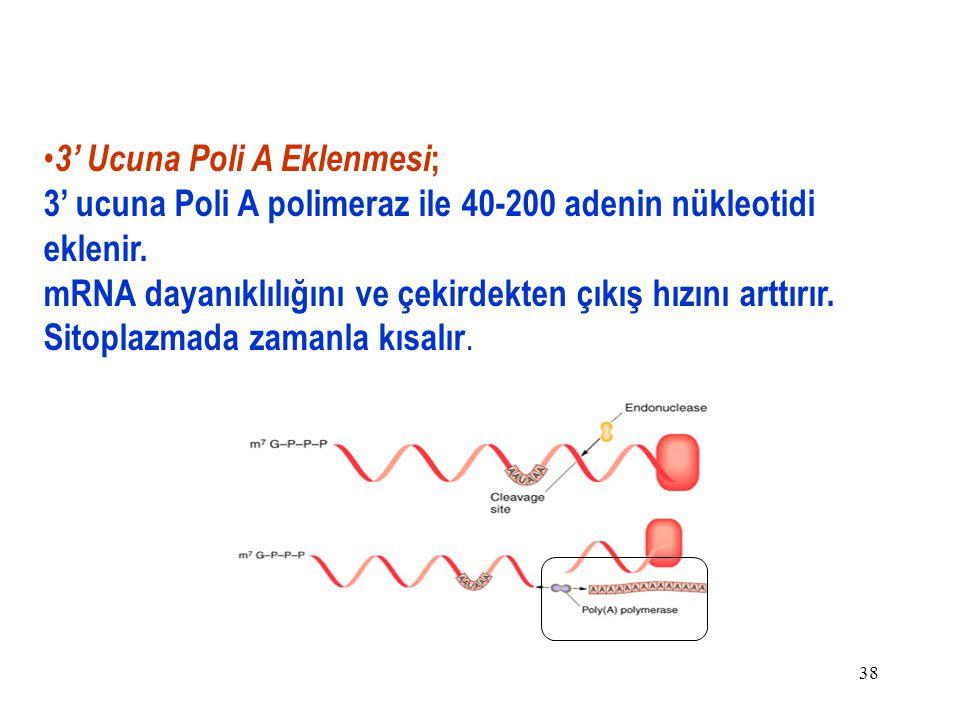 38 3' Ucuna Poli A Eklenmesi ; 3' ucuna Poli A polimeraz ile 40-200 adenin nükleotidi eklenir.
