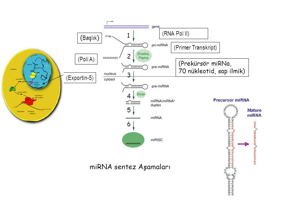 49 (Primer Transkript) ( Başlık ) (Poli A) (Prekürsör miRNa, 70 nükleotid, sap ilmik) 2 4 (Exportin-5) (RNA Pol II) 1 3 5 6 miRNA sentez Aşamaları