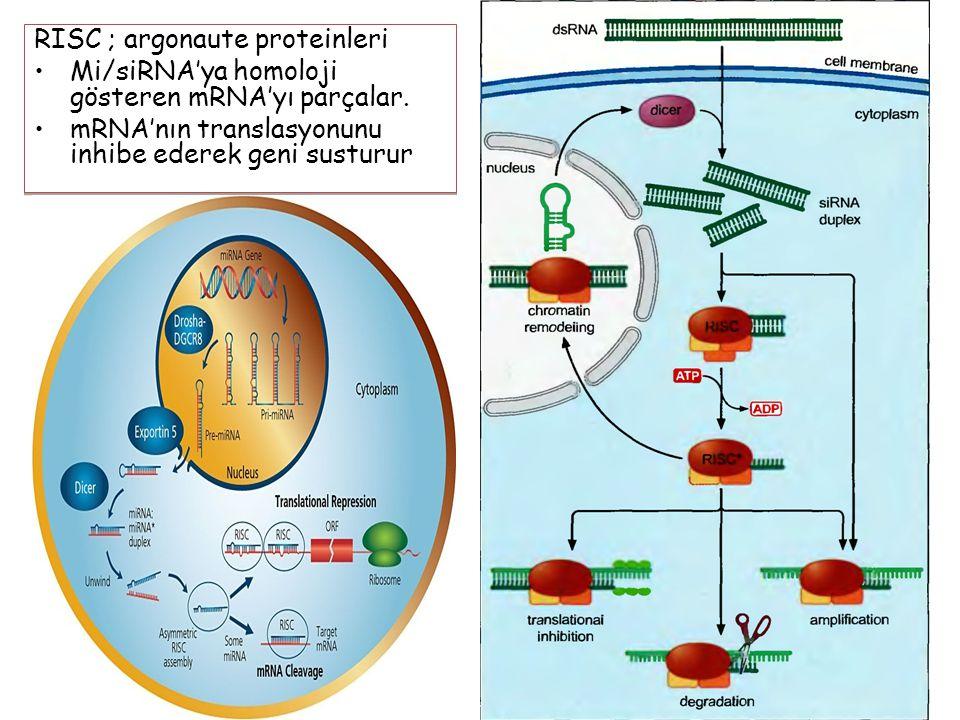 56 RISC ; argonaute proteinleri Mi/siRNA'ya homoloji gösteren mRNA'yı parçalar.
