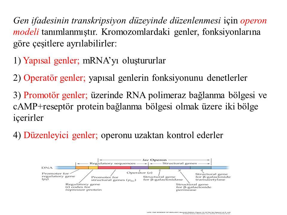 Gen ifadesinin transkripsiyon düzeyinde düzenlenmesi için operon modeli tanımlanmıştır.