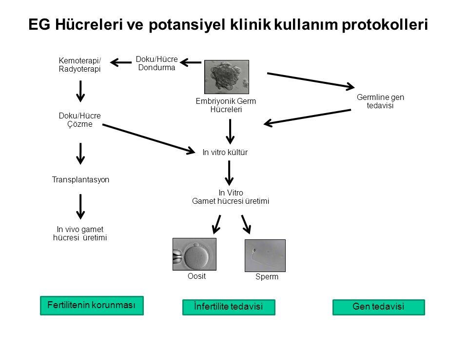EG Hücreleri ve potansiyel klinik kullanım protokolleri Embriyonik Germ Hücreleri Germline gen tedavisi Doku/Hücre Dondurma In Vitro Gamet hücresi üre
