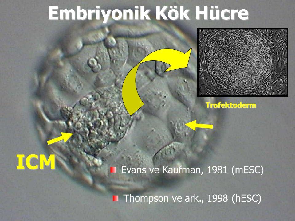 ICM Trofektoderm Embriyonik Kök Hücre Evans ve Kaufman, 1981 (mESC) Thompson ve ark., 1998 (hESC)
