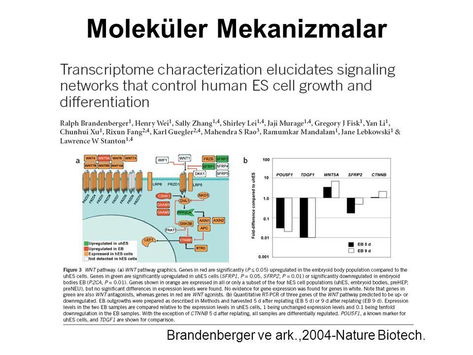 Moleküler Mekanizmalar Brandenberger ve ark.,2004-Nature Biotech.