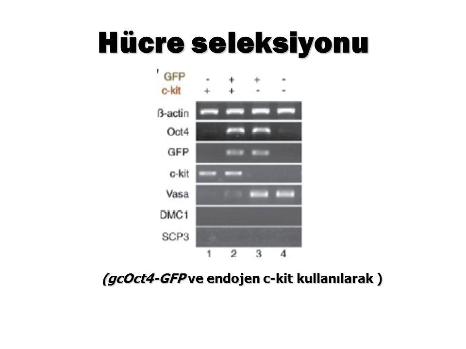 Hücre seleksiyonu (gcOct4-GFP ve endojen c-kit kullanılarak )