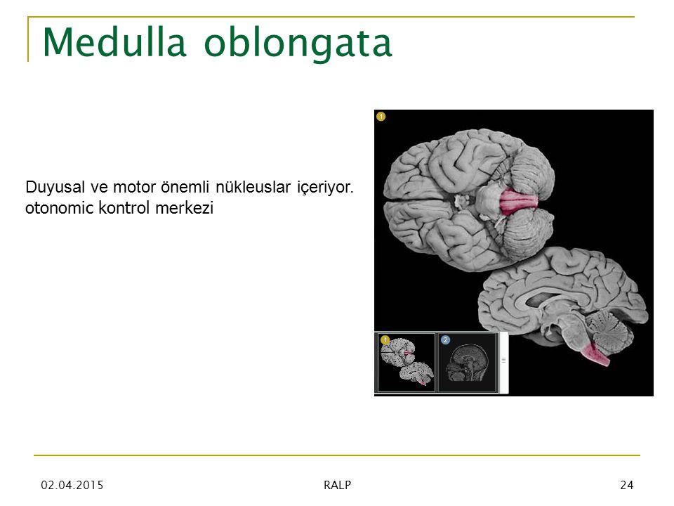 Medulla oblongata Duyusal ve motor önemli nükleuslar içeriyor.