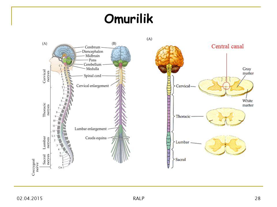 Omurilik Central canal 02.04.201528 RALP