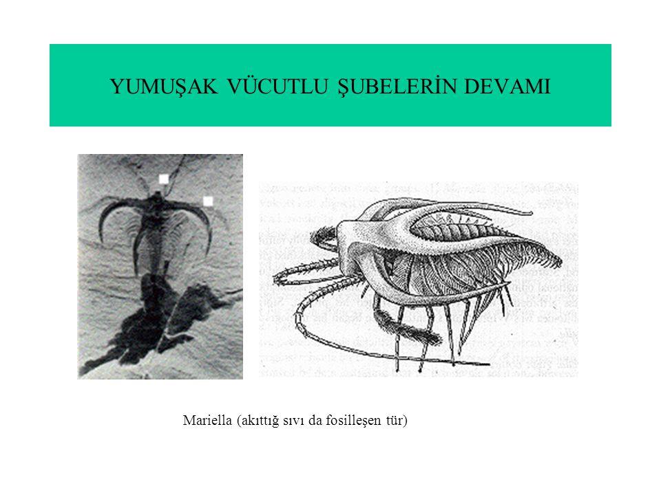 YUMUŞAK VÜCUTLU ŞUBELERİN DEVAMI Mariella (akıttığ sıvı da fosilleşen tür)
