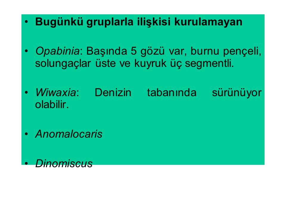Bugünkü gruplarla ilişkisi kurulamayan Opabinia: Başında 5 gözü var, burnu pençeli, solungaçlar üste ve kuyruk üç segmentli. Wiwaxia: Denizin tabanınd
