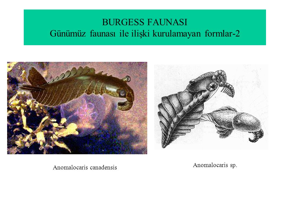 BURGESS FAUNASI Günümüz faunası ile ilişki kurulamayan formlar-2 Anomalocaris canadensis Anomalocaris sp.