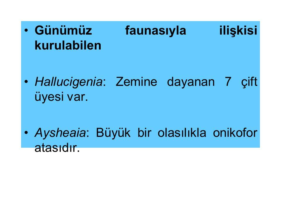 Günümüz faunasıyla ilişkisi kurulabilen Hallucigenia: Zemine dayanan 7 çift üyesi var. Aysheaia: Büyük bir olasılıkla onikofor atasıdır.