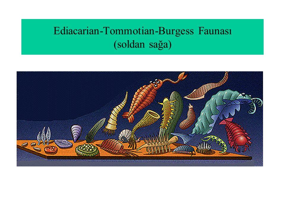 Ediacarian-Tommotian-Burgess Faunası (soldan sağa)